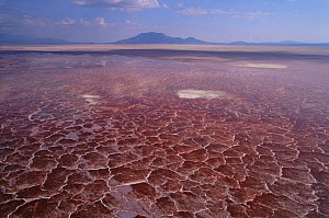 Soda crust on Lake Natron, Tanzania, coloured red by alkali cyanobacteria, breeding site of endangered Lesser Flamingo  -  Owen Newman