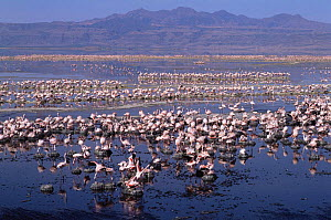 Nesting colony of Lesser Flamingo {Phoeniconaias minor} Lake Natron, Tanzania - Lesser flamingoes are threatened in East Africa and Lake Natron (their only breeding site) is now under threat from indu...  -  Owen Newman