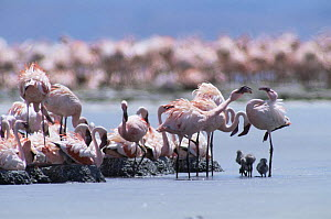 Adults with chicks at nesting colony of Lesser Flamingo {Phoeniconaias minor} Lake Natron, Tanzania - Lesser flamingoes are threatened in East Africa and Lake Natron (their only breeding site) is now... - Owen Newman