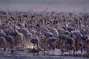 Flock of Lesser flaminogoes {Phoeniconaias minor} bathing and feeding in mist, Lake Bogoria, Kenya  -  Owen Newman