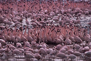 Flock of Lesser flaminogoes {Phoeniconaias minor} Lake Bogoria, Kenya  -  Owen Newman