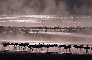 Flock of Lesser flaminogoes {Phoeniconaias minor} in mist, Lake Bogoria, Kenya  -  Owen Newman