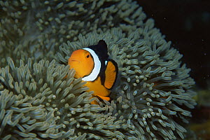 Clown anemonefish {Amphiprion percula} amongst tentacles of Sea anemone, Coral Sea, Australia  -  Brent Hedges