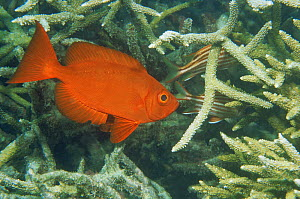 Goggle eye fish / Crescent tail bigeye {Priacanthus hamrur} amongst hard coral, Coral Sea, Australia  -  Brent Hedges