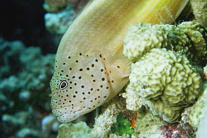 Hawkfish {Paracirrhites sp} on coral reef, Maldives, Indian ocean  -  Jurgen Freund
