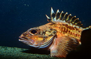 Rockfish (Sebastes sp) California, captive  -  Jurgen Freund