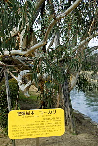 Eucalyptus tree that survived the Atomic bomb in 1945. Approx 740 metres from bomb hypocentre, Hiroshima, Japan. - Adrian Davies