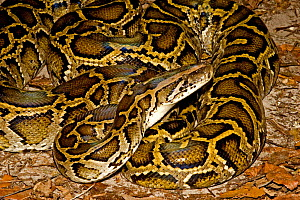 Burmese Python (Python molurus bivittatus) Range Burma and East Indies, and introduced into the Everglades by release of pets, Florida, USA - Barry Mansell