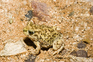 Couch Spadefoot Toad (Scaphiopus couchii) Arizona, USA  -  Barry Mansell