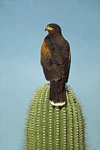 Harris' Hawk (Parabuteo unicinctus) perched on saguaro cactus, Arizona, USA  -  John Cancalosi