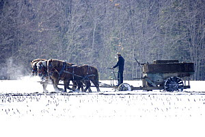 Amish farmer driving a team of Horses pulling wagon through field in snow, New York, USA  -  John Cancalosi