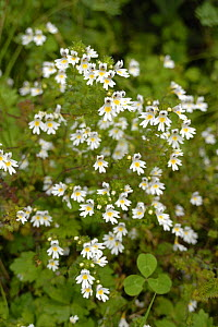 Eyebright (Euphrasia rostkoviana) flowering, Bavaria, Germany  -  Martin Gabriel