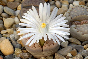 Flowering Living Stone (Lithops sp) a succulent family native to Southern africa  -  Martin Gabriel