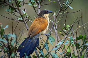 Burchell's Coucal (Centropus burchellii) perched on a branch, Kruger NP, South Africa - Philippe Clement