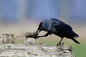 Jackdaw {Corvus monedula} feeding on dead mouse, Belgium  -  Philippe Clement