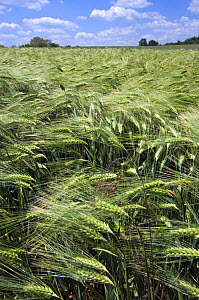 Barley {Hordeum vulgare} ripening in field, France  -  Philippe Clement