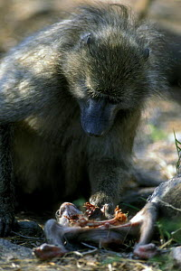 Female Chacma baboon {Papio ursinus} with partially eaten baby killed by the troop's dominant male, Kruger NP, South Africa - Philippe Clement