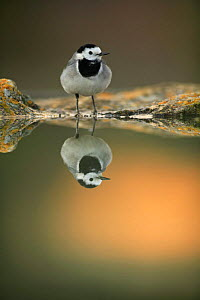 Male White wagtail {Motacilla alba alba} at waters edge with reflection, Spain  -  Jose B. Ruiz
