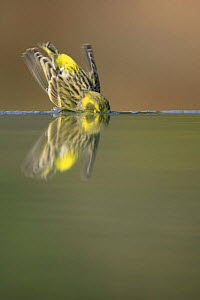Male Serin {Serinus serinus} washing face in water, Spain  -  Jose B. Ruiz