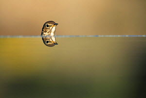 Song thrush {Turdus philomelos} head with reflection, Spain  -  Jose B. Ruiz