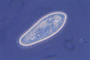 Unicellular ciliate protozoa {Paramecium caudatum} (phase microscopic photography)  -  Nature Production
