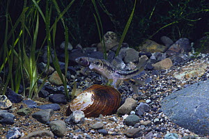 Oily shiner {Sarcocheilichthys variegatus} inserting its ovipositor and laying eggs in Asian Freshwater Mussel {Anodonta (Sinanodonta) woodiana} captive, Japan - Nature Production