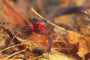 Japanese Firebelly Newt {Cynops pyrrhogaster} Shiga, Japan  -  Nature Production
