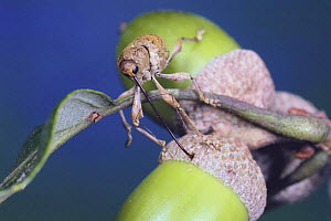 Weevil {Curculio dentipes} boring into acorn of Oak{Quercus serrata} in order to lay eggs, Japan  -  Nature Production