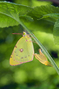 Eastern Pale Clouded Yellow {Colias erate poliographus} recently emerged from pupa, Japan  -  Nature Production