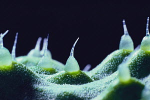 Close up of hairs on surface of Cucumber skin {Cucumis sativus} Japan  -  Nature Production