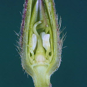Morning Glory {Ipomoae nil} cross section of flower bud about to open, Japan  -  Nature Production