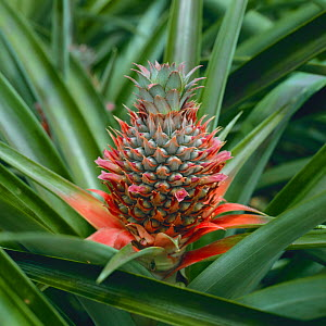 Pineapple flower {Ananas comosus} - Nature Production