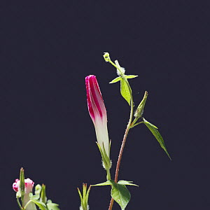 Morning glory {Ipomoea nil} flower bud opening sequence 2/4, Japan  -  Nature Production