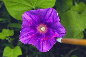 Letters written on Morning Glory flower {Ipomoea nil} with vinegar, Japan  -  Nature Production