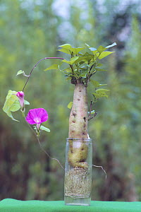 Morning Glory {Ipomoea nil} grafted on Sweet Potato {Ipomoea batatus} Japan  -  Nature Production