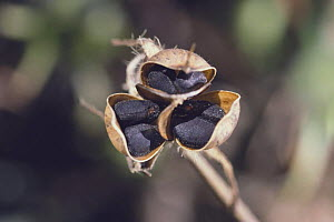 Morning Glory {Ipomoea nil} seeds in pods, Japan  -  Nature Production