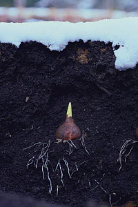 Tulip {Tulipa gesneriana} germinating bulb in earth during winter, Japan  -  Nature Production