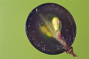Cross-section of a Grape {Vitis sp} showing fruit flesh and seeds, Japan  -  Nature Production