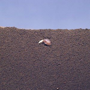Morning glory seed {Ipomeae nil} germinating in earth, seed germination sequence 2/5, Japan  -  Nature Production