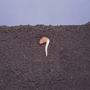 Morning glory seed {Ipomeae nil} germinating in earth, seed germination sequence 3/5, Japan  -  Nature Production