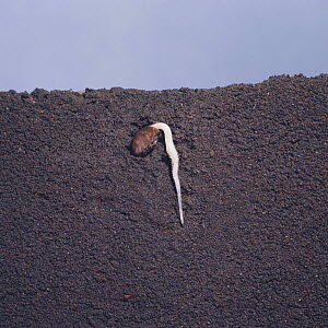 Morning glory seed {Ipomeae nil} germinating in earth, seed germination sequence 4/5, Japan  -  Nature Production