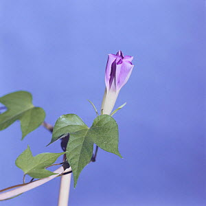 Morning glory {Ipomoea nil} flower opening sequence 4/9, Japan  -  Nature Production