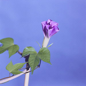 Morning glory {Ipomoea nil} flower opening sequence 5/9, Japan  -  Nature Production