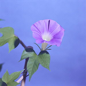 Morning glory {Ipomoea nil} flower opening sequence 8/9, Japan  -  Nature Production