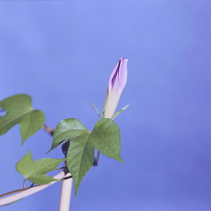 Morning glory {Ipomoea nil} flower opening sequence 2/9, Japan  -  Nature Production