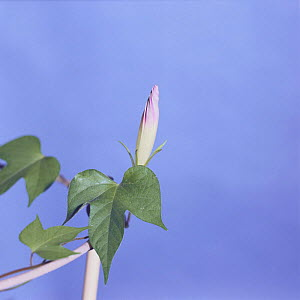 Morning glory {Ipomoea nil} flower opening sequence 1/9, Japan  -  Nature Production