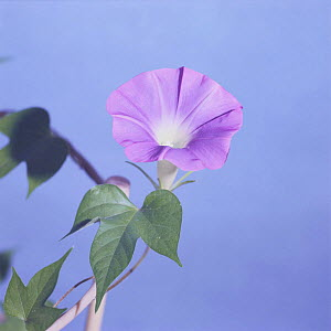 Morning glory {Ipomoea nil} flower opening sequence 9/9, Japan  -  Nature Production