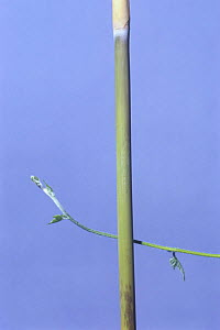 Morning glory {Ipomoea nil} tendril of vine growing around vertical stem, Japan, sequence 1/7  -  Nature Production