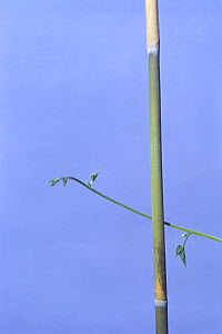 Morning glory {Ipomoea nil} tendril of vine growing around vertical stem, 1hr later, sequence 2/7, Japan  -  Nature Production