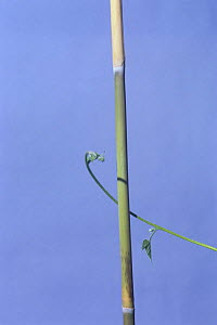 Morning glory {Ipomoea nil} tendril of vine growing around vertical stem, 1hr 10mins later, sequence 3/7, Japan  -  Nature Production
